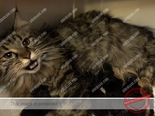 At Last Cats - Maine Coon Cats - Maine Coon Cat Breeder